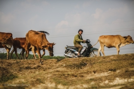 Cows, water buffalo, tractors, motorbikes and people all share the small but efficient roads of the central highlands of Vietnam. March 2014.