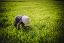 A woman works in the rice fields in the central highlands of Vietnam, March 2014.