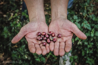 Ripe coffee beans from the robusta bushes are surprisingly fruity and sweet. Vietnam, March 2014.