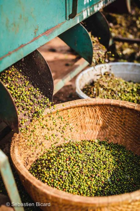 Green peppercorns, one of the common crops of the central highlands, are sorted by machine or by hand, then spread to dry in the sun.