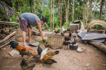 A woman protects the smaller chicks and ducklings by placing them in a basket before feeding the rest of her barnyard flock. Muang Ngoi, Laos, April 2014.