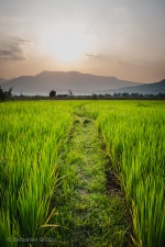 Green rice fields at sunset. Champasak, Laos, March 2014.