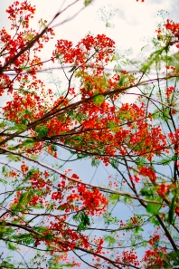 Red flowering tree in Yangon, Myanmar. May 2014.