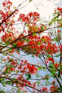 Red flowering tree in Yangon, Myanmar. May 2014.