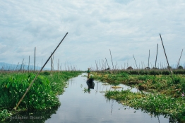 Tomatoes, eggplant, pumpkins and other crops are cultivated and tended by long boat in the 'floating' gardens in the marshes of Inle Lake. Myanmar, May 2014.