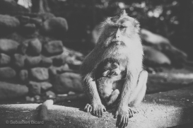 A hairy mama macaque cuddles her young offspring and waits for a generous tourist to dole out bananas in the Sacred Monkey Temple of Ubud. Bali, Indonesia, June 2014.