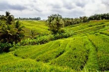 Stair steps of green rice terraces outside Jatiluwih, Bali. Indonesia, June 2014.