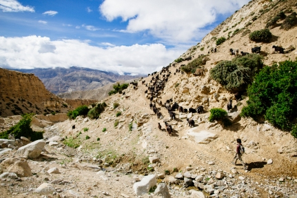 A boy herds mountain goats up the slopes of Upper Mustang. These goats will most likely be sacrificed and roasted for the local new years' celebrations. Upper Mustang, Nepal, July 2014.